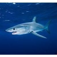 blue york shark sticker